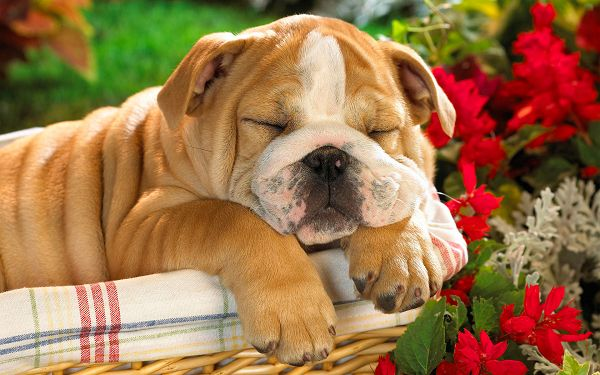 Sleeping the Day Away HD Post in 1920x1200 Pixel, Chubby Puppy in Sleep, High Time that He Get Up and Take Some Exercise - HD Natural Scenery Wallpaper