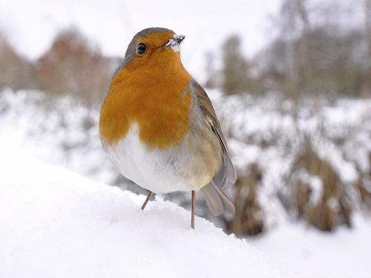 click to free download the wallpaper--Small Bird Photography, Beautiful Bird in Snow, Tough to Survive