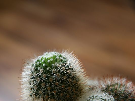 click to free download the wallpaper--Small Cactus Plants, Strong Thorns All Over, Be Careful of Them!