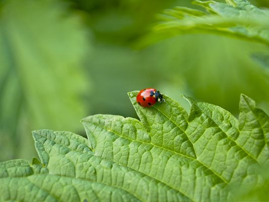 click to free download the wallpaper--Small Ladybug Picture, Red Insect on Green Leaf, Amazing Look