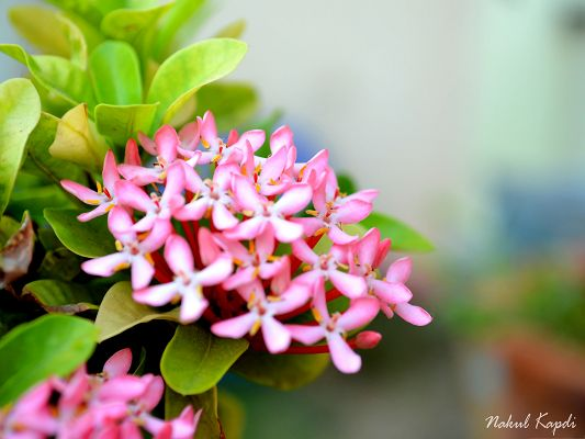 click to free download the wallpaper--Small Pink Flowers, Tiny Blooming Flowers in Bloom, Green Leaves Around