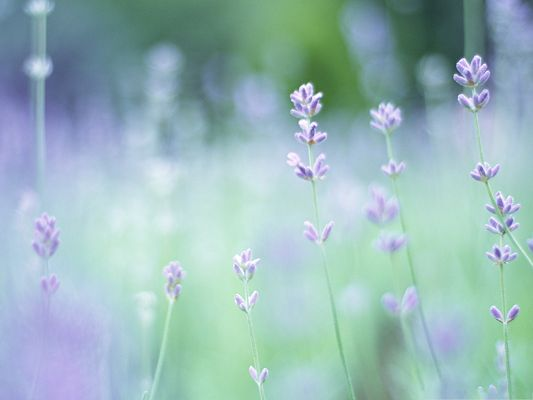 click to free download the wallpaper--Small Purple Flowers, Beautiful Flowers Standing Up Tall, Soft Focus