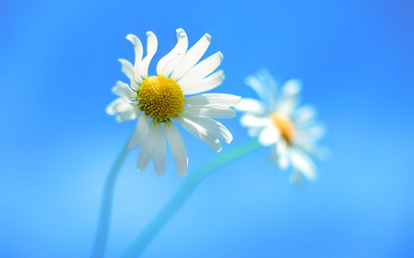 Small Yet Persistent in Life, Blue Background is Clean and Simple, the Flower is More Emphasized - Natural Scenery Wallpaper