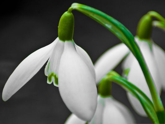 Snowdrop Flower Image, White Flowers Lowering Down, Black Background