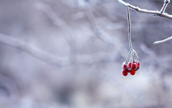 Snowy World and Red Fruit, Both Good-Looking, What Firstly Comes into Your Eyes - HD Natural Scenery Wallpaper