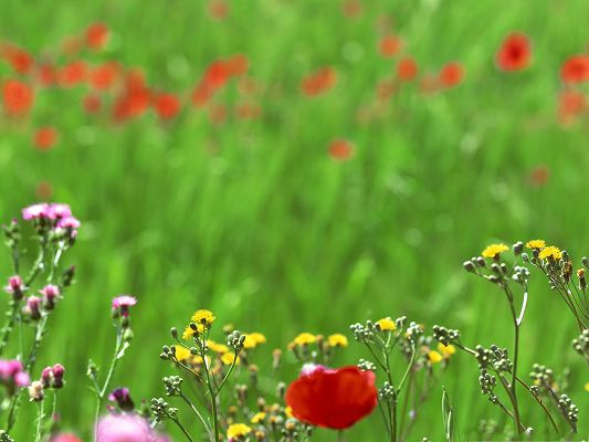 click to free download the wallpaper--Spring Flowers Field, Red Blooming Flowers Among Green Grass, What a Contrast!