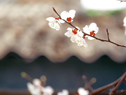 click to free download the wallpaper--Spring Flowers Image, Cherries in Bloom, Brown Thin Branch