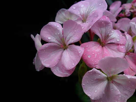 click to free download the wallpaper--Spring Flowers Image, Pink Flowers with Rain Drops All Over, Properous Scene