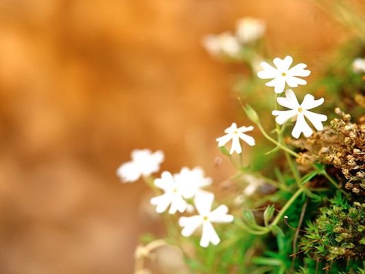 click to free download the wallpaper--Spring Flowers Image, White Blooming Flowers, New Life in Spring