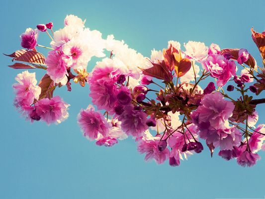 click to free download the wallpaper--Spring Flowers Photography, Pink Tiny Flowers in Bloom, Under the Blue Sky