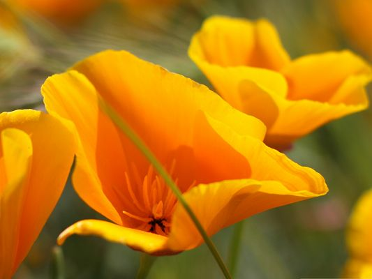 click to free download the wallpaper--Summer Flowers Picture, Blooming Orange Flower, Nice-Looking and Impressive