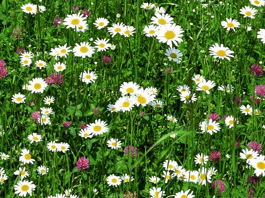 click to free download the wallpaper--Summer Flowers Picture, White Blooming Flowers, Prosperous Growth