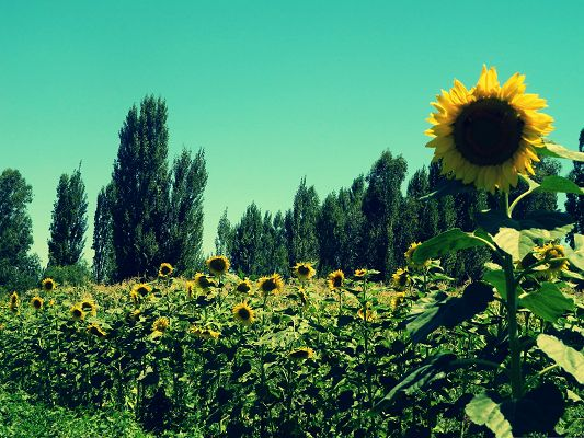 click to free download the wallpaper--Sunflower Field Image, Beautiful Sunflower Among Tall Green Trees