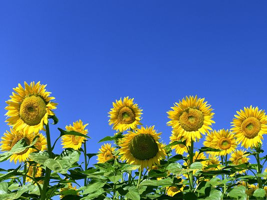 click to free download the wallpaper--Sunflower Field Picture, Blooming Sunflowers Under the Blue Sky, Clean Fresh Scene
