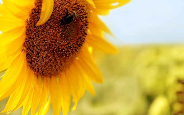 click to free download the wallpaper--Sunflower Photography, Golden Sunflower in Full Bloom, Incredible Nature Scene