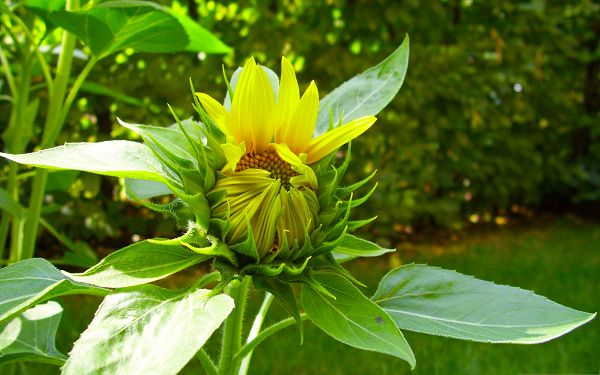 click to free download the wallpaper--Sunflower in Bud, Beautiful Sunflower Embraced by Green Leaves