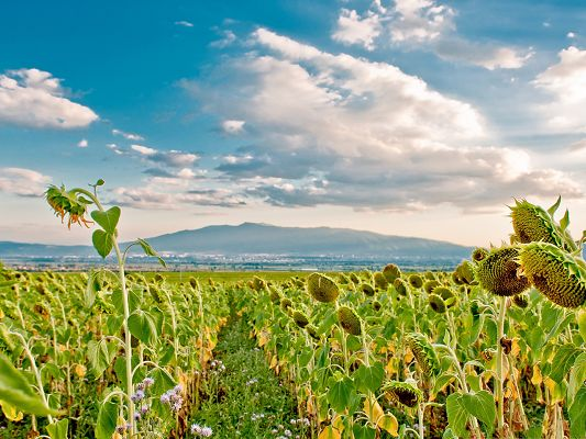 click to free download the wallpaper--Sunflowers Field Image, Yellow Sunflowers Under the Blue Sky, Green Hills Faraway