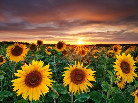 click to free download the wallpaper--Sunflowers Landscape Photo, Blooming Sunflowers Under Sunshine, Feeling Good