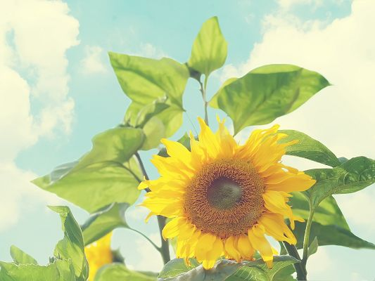 click to free download the wallpaper--Sunflowers Picture, Blooming Flowers and Green Leaves, Amazing Scene