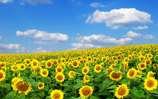 Sunflowers Raising the Head and Smiling, They Deserve the Good Mood, Very Beautiful - HD Natural Scenery Wallpaper