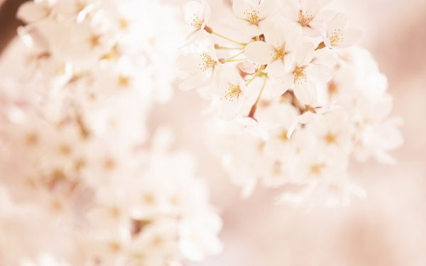 click to free download the wallpaper--Sweet Romantic Flowers, White and Pure Cherries, Clean and Fresh World