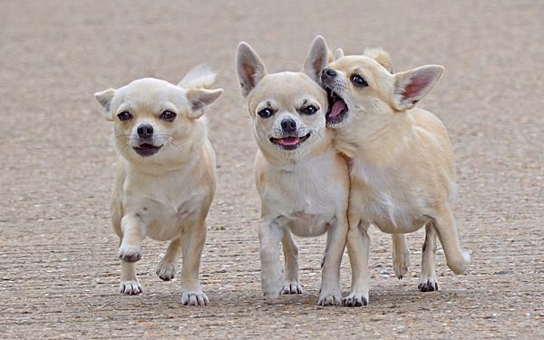 click to free download the wallpaper---Three Chihuahuas in Walking, All Looking at the Screen, Why I am Not the VIP to Stand in Middle? - Lovely Chihuahua Wallpaper