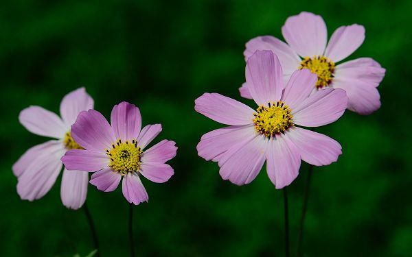 Three Small Yet Attractive Purple Flowers, on Green Background, They Impress as Simple and Tough - HD Natural Plants Wallpaper