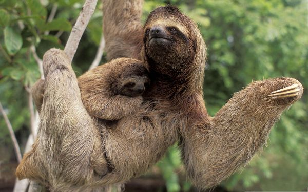 click to free download the wallpaper--Three Toed Sloth Image, Cute Baby Kept in the Arms, Under Great Protection