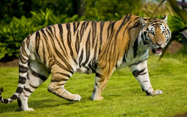 click to free download the wallpaper--Tiger At Zoo, Beautiful Tiger Walking on Grass, Majestic Look