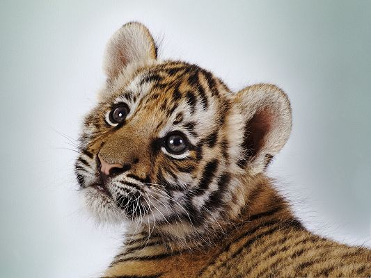 click to free download the wallpaper--Tiger Cub Pic, Cute Tiger with Wide Open Eyes, Like the King