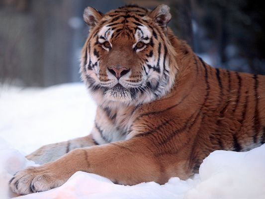 click to free download the wallpaper--Tiger In Snow, Majestic Tiger Lying on Snow, Tall Trees in the Stand