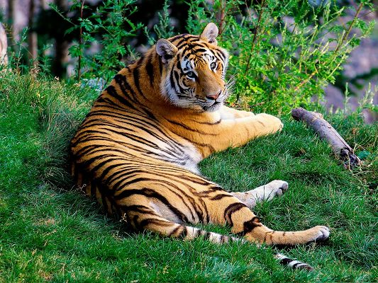 click to free download the wallpaper--Tiger Taking a Rest, Comfortable Tiger on Green Grass, Peaceful Look