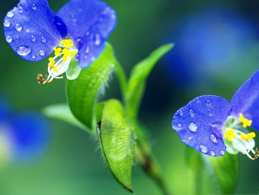 click to free download the wallpaper--Tiny Blue Flowers, Rain Drops on Petals, Fresh and New Scene