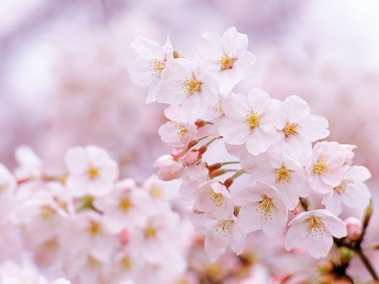 click to free download the wallpaper--Tiny Cherry Flowers, Smile in Beauty, Presenting Incredible Scene