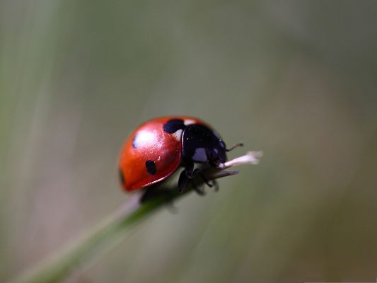 click to free download the wallpaper--Tiny Ladybug Image, Little Insect Under Macro Focus, Great in Look