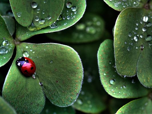 click to free download the wallpaper--Tiny Ladybug Images, Red Insect on Clover Leaf, Shinning Water Drops