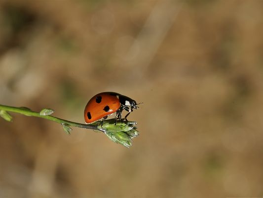 click to free download the wallpaper--Tiny Ladybug Pic, Little Insect on Green Plant, Light Gray Background