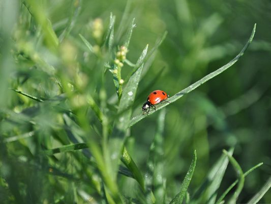click to free download the wallpaper--Tiny Ladybug Pic, Red Insect on Green Plants, Big Contrast in Color