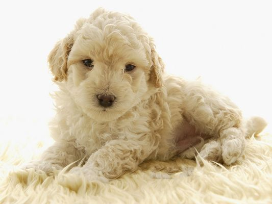 click to free download the wallpaper--Toy Poodle Pet Dog Image, Nice-Looking and Decent, Comfortably Lying