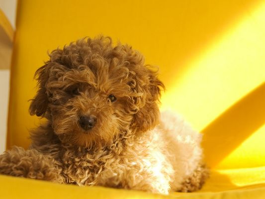 click to free download the wallpaper--Toy Poodle Pet Dogs, Decent and Nice-Looking Puppy