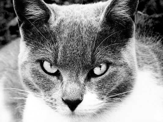 click to free download the wallpaper--Turkish Angora Cat, Angry Look, Shake in Face of Its Sharp Eyes