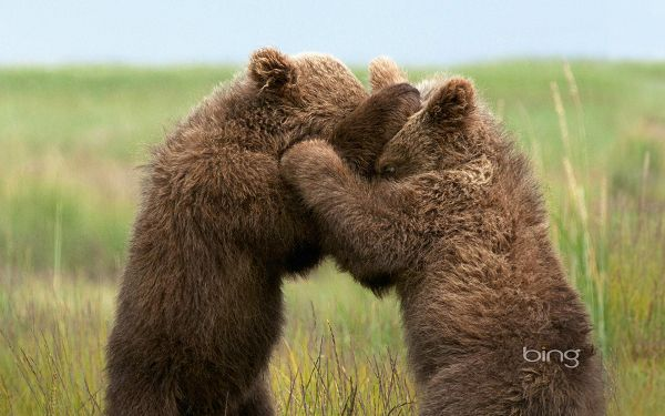 click to free download the wallpaper--Two Bear in Close Relationship, No One Will be Hurt, Set Your Mind at Ease, They Are Having Fun - HD Cute Animals Wallpaper