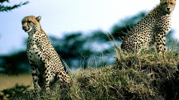 Two Leopards Sitting on Hillside, the Other Animals All Overlooked, What Imposing Animals - HD Leopard Print Wallpaper