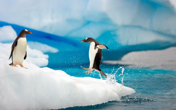 Two Penguins Playing by Seaside, Water is Jumping with His Movement, What a Vivid Scene - Widescreen Natural Scenery Wallpaper