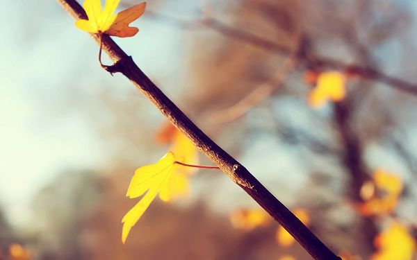 click to free download the wallpaper---Two Yellow Leaves in Great Growing Condition, Both Are Heading Toward the Sun, Tomorrow is Another Day - HD Photography Wallpaper