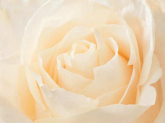 click to free download the wallpaper--Valentine Rose Picture, White Rose About to Bloom, Good in Smell and Look