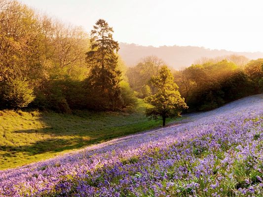 click to free download the wallpaper--Violet Flowers Picture, Purple Flower Field, Tall Trees Around