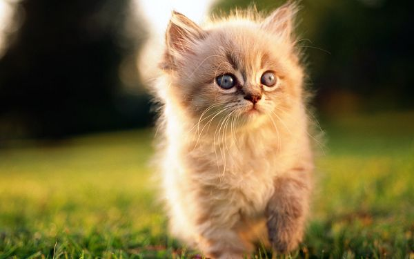 click to free download the wallpaper---Walling At Leisure on a Grass, Looking at a Certain Direction, Curiosity Can be Expected - Cute Kitty HD Wallpaper