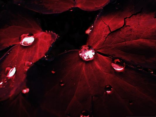 click to free download the wallpaper--Wallpaper Computer Background, Clear Waterdrops on Red Rose Petals
