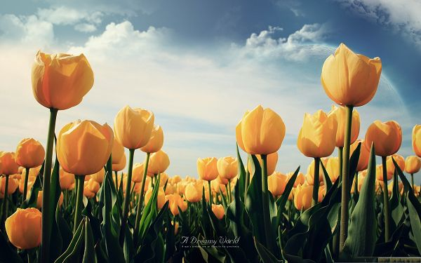 click to free download the wallpaper--Wallpaper Computer Background, Field of Yellow Tulips, Smile Under the Blue Sky
